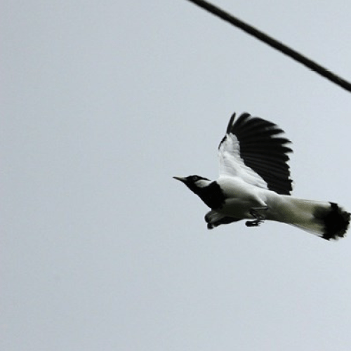 Magpie Season Has Swooped In Early