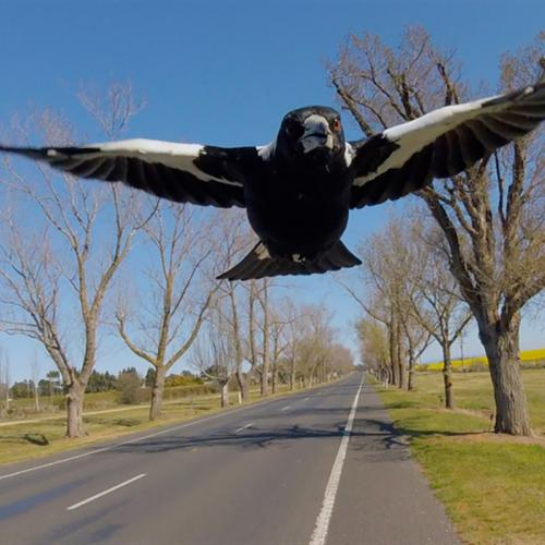 Cyclist Dies After Attempting To Avoid Swooping Magpie
