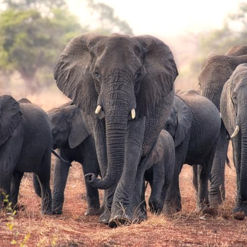 Elephants Walk 12 Hours To Mourn Man Who Rescued Them