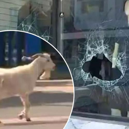Goat Goes On Rampage Through Western Sydney Streets