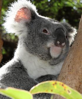 Hundreds Of Koalas Feared 'Burned Alive' In NSW Bushfire