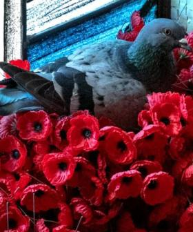 Pigeon Makes Nest Out Of Stolen Poppies At Australian War Memorial