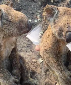 Devastating Video Shows Koala With Severe Burns Being Rescued From NSW Bushfires