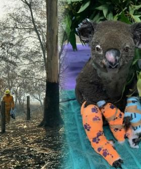 Wildlife Rescuers Fear Nearly 1000 Koalas Have Been Killed In Australia's Bushfires