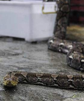 Woman Killed By 2.4-Metre Snake Wrapped Around Her Neck