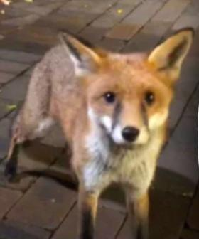 There's A Wild Fox Biting Students At UNSW....