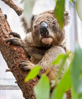 Fears Koalas Could Become Extinct In NSW Before 2050