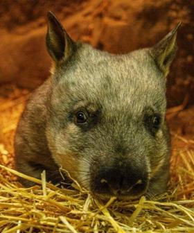 Hairy-Nosed Wombat Baby Joy At Taronga Zoo